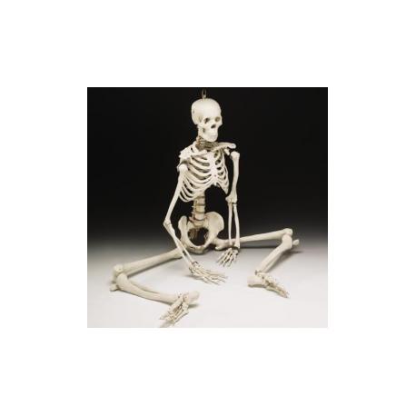 bucky-skeleton
